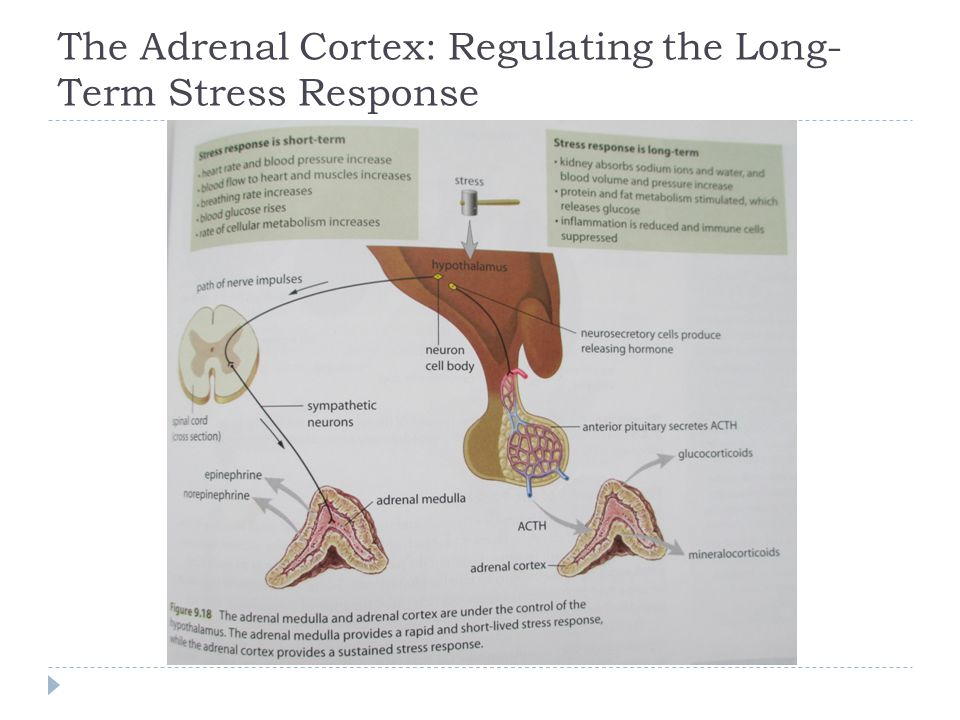 The Adrenal Cortex: Regulating the Long-Term Stress Response