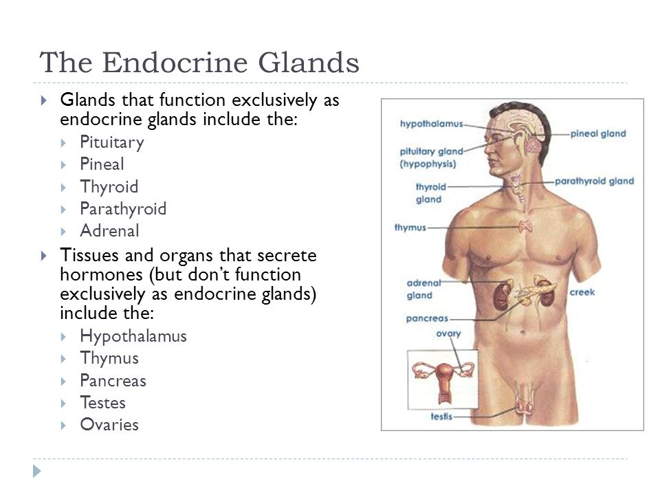 The Endocrine Glands Glands that function exclusively as endocrine glands include the: Pituitary.
