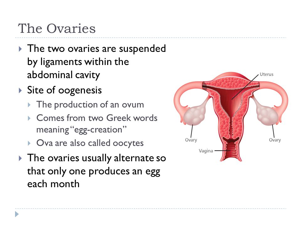 The Ovaries The two ovaries are suspended by ligaments within the abdominal cavity. Site of oogenesis.