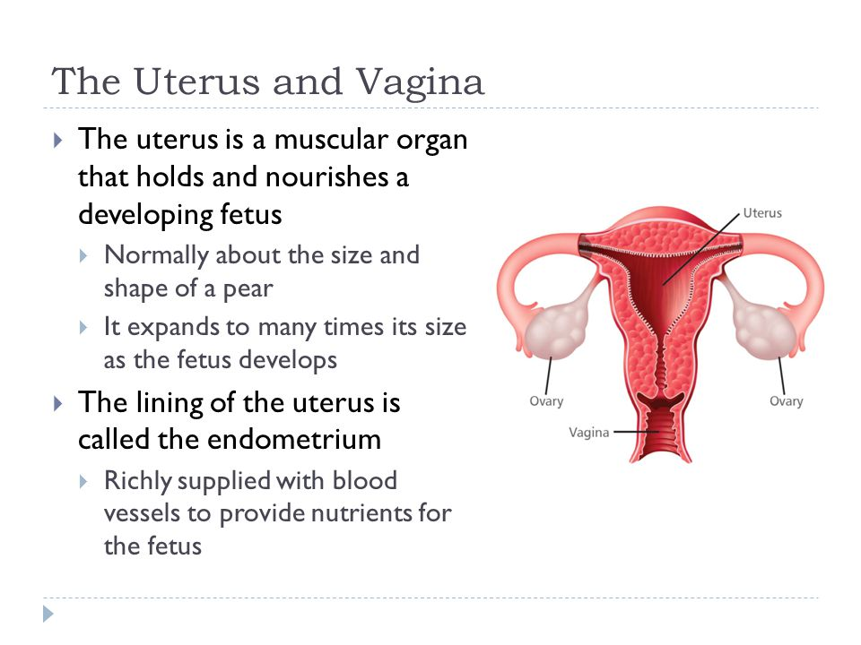 The Uterus and Vagina The uterus is a muscular organ that holds and nourishes a developing fetus.
