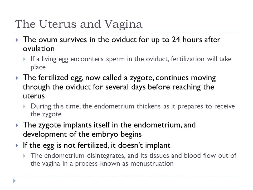 The Uterus and Vagina The ovum survives in the oviduct for up to 24 hours after ovulation.