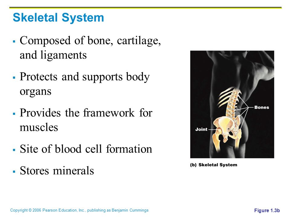 Composed of bone, cartilage, and ligaments