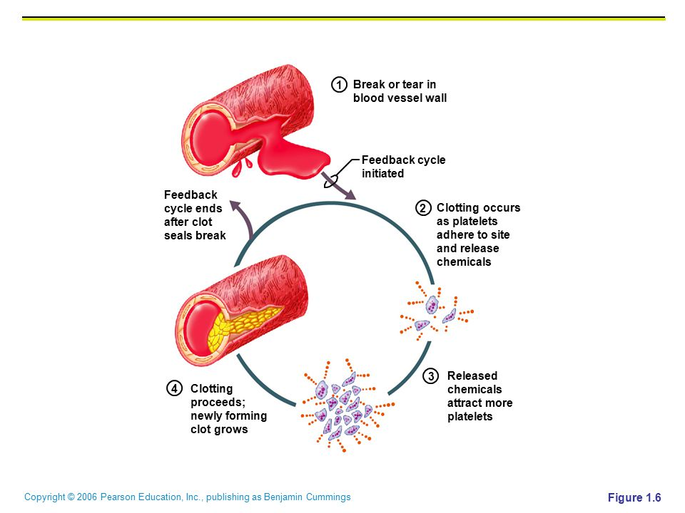 1 Break or tear in. blood vessel wall. Feedback cycle. initiated. Feedback. cycle ends. after clot.
