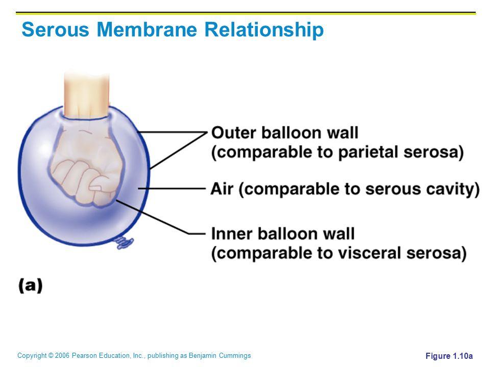 Serous Membrane Relationship