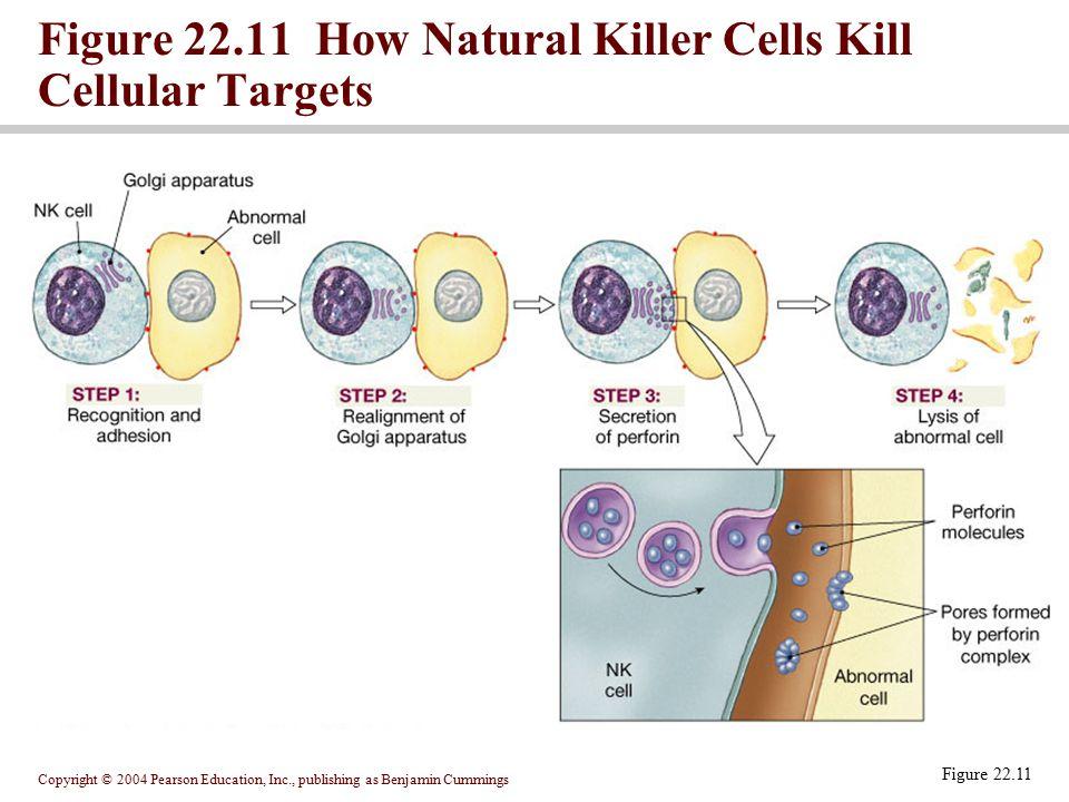 Figure 22.11 How Natural Killer Cells Kill Cellular Targets