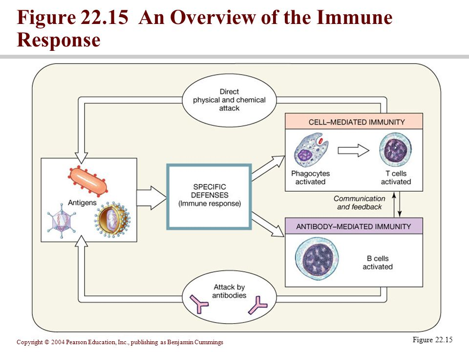 Figure 22.15 An Overview of the Immune Response