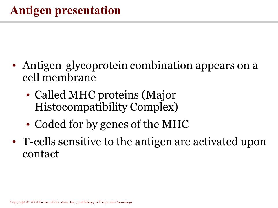 Antigen presentation Antigen-glycoprotein combination appears on a cell membrane. Called MHC proteins (Major Histocompatibility Complex)