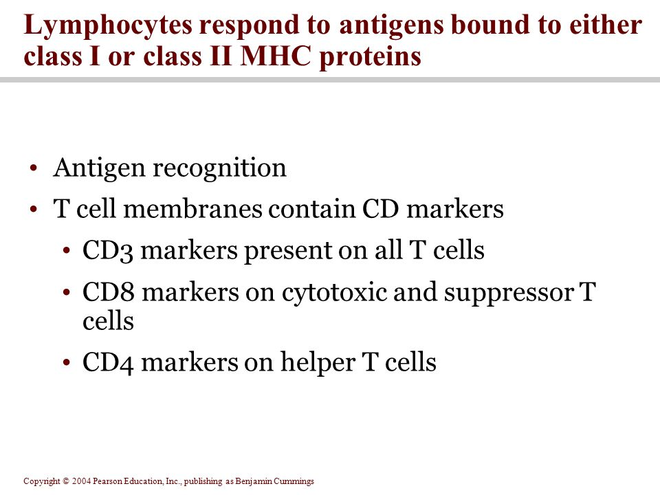 Lymphocytes respond to antigens bound to either class I or class II MHC proteins