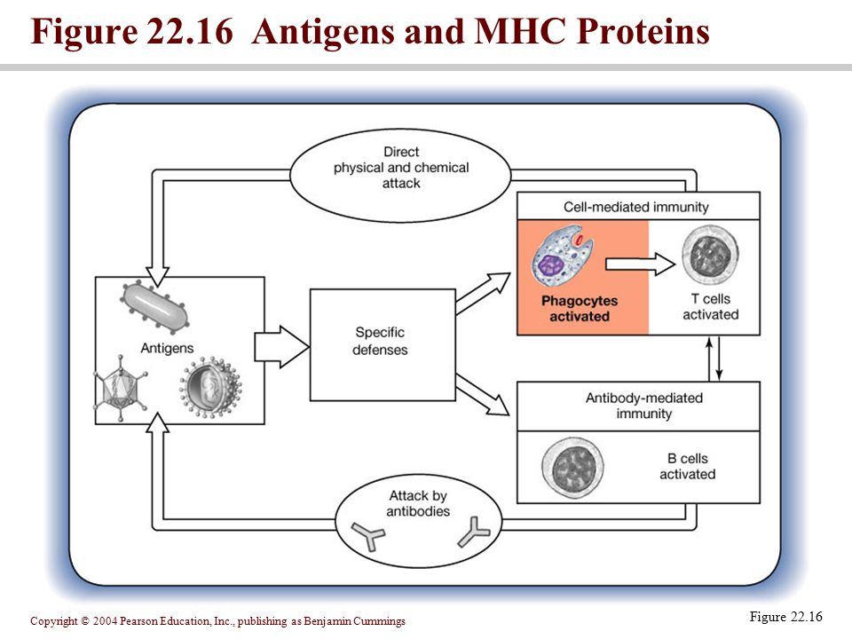 Figure 22.16 Antigens and MHC Proteins