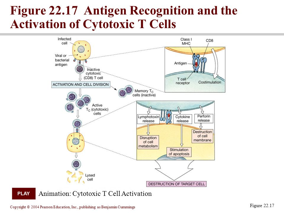 Figure 22.17 Antigen Recognition and the Activation of Cytotoxic T Cells