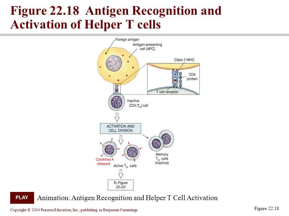 Figure 22.18 Antigen Recognition and Activation of Helper T cells