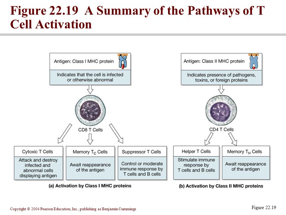 Figure 22.19 A Summary of the Pathways of T Cell Activation