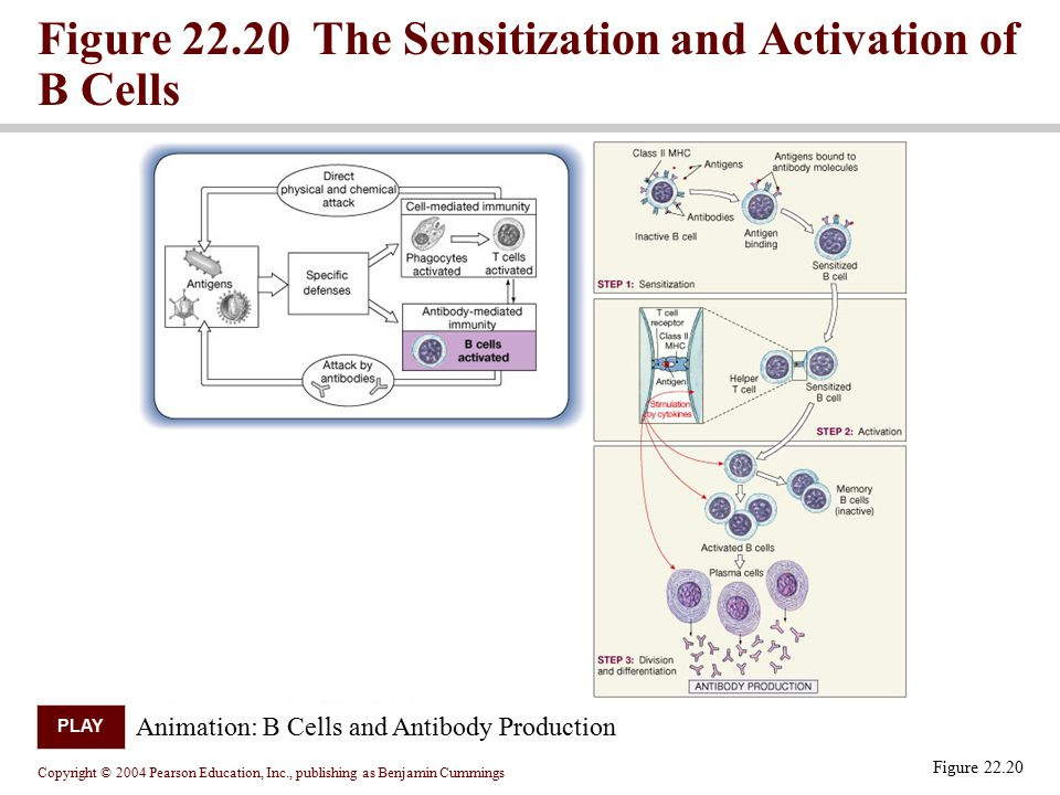 Figure 22.20 The Sensitization and Activation of B Cells