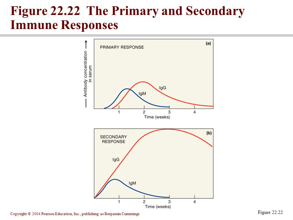Figure 22.22 The Primary and Secondary Immune Responses
