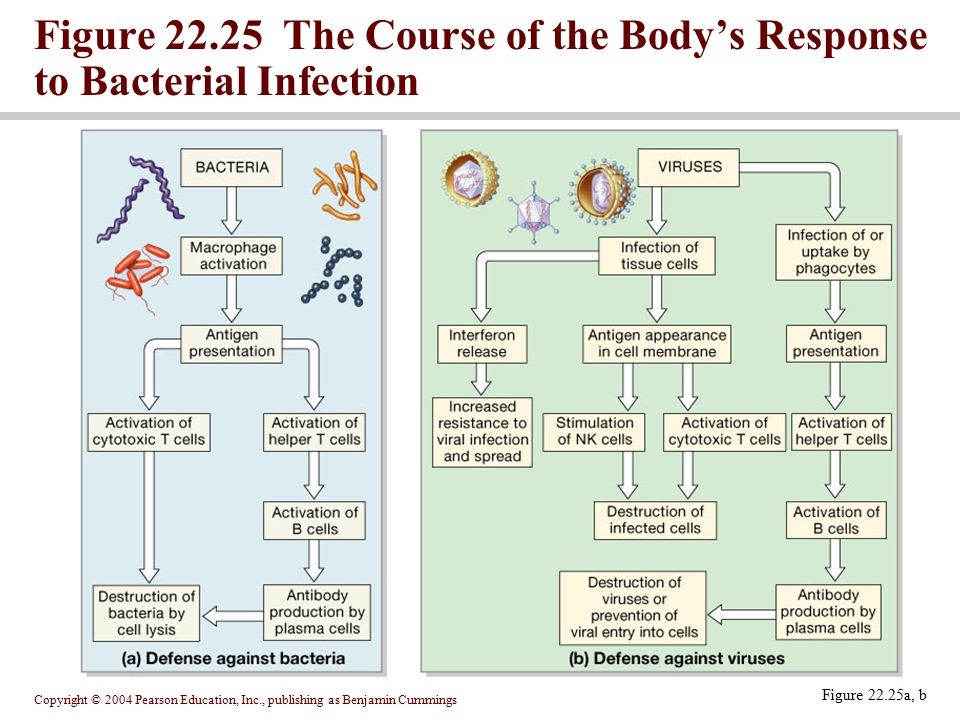 Figure 22.25 The Course of the Body's Response to Bacterial Infection