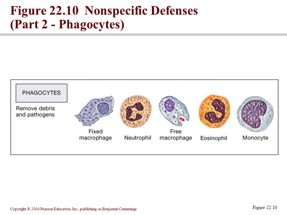 Figure 22.10 Nonspecific Defenses (Part 2 - Phagocytes)