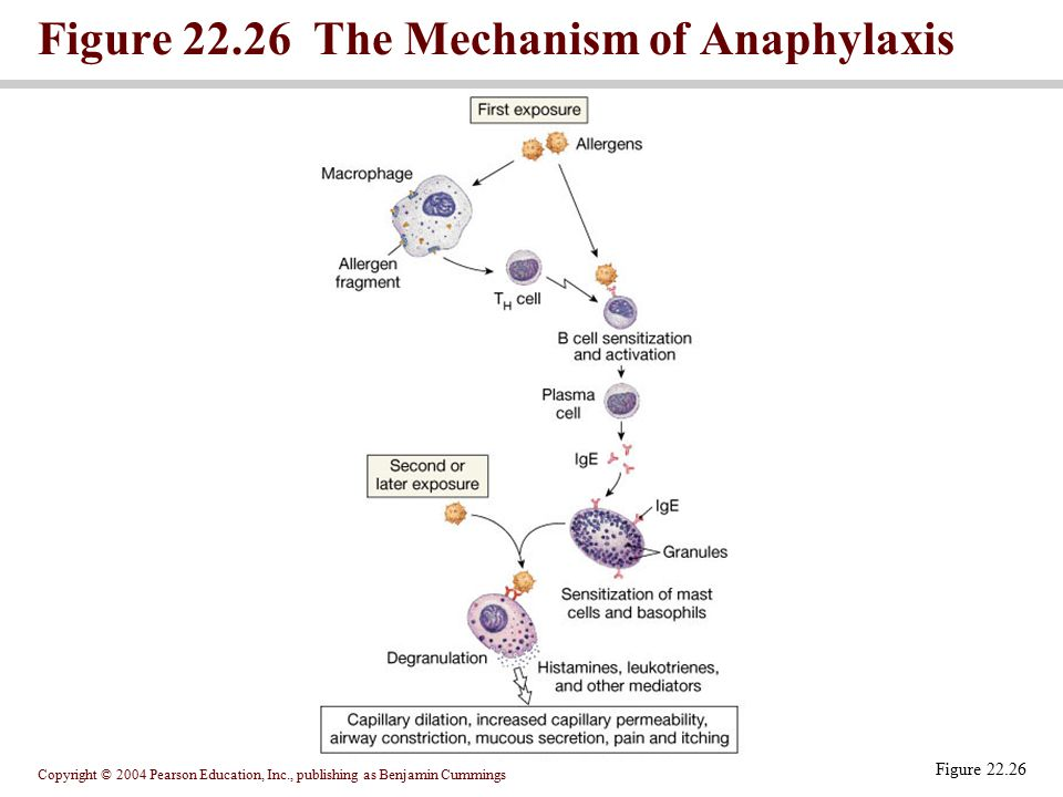 Figure 22.26 The Mechanism of Anaphylaxis
