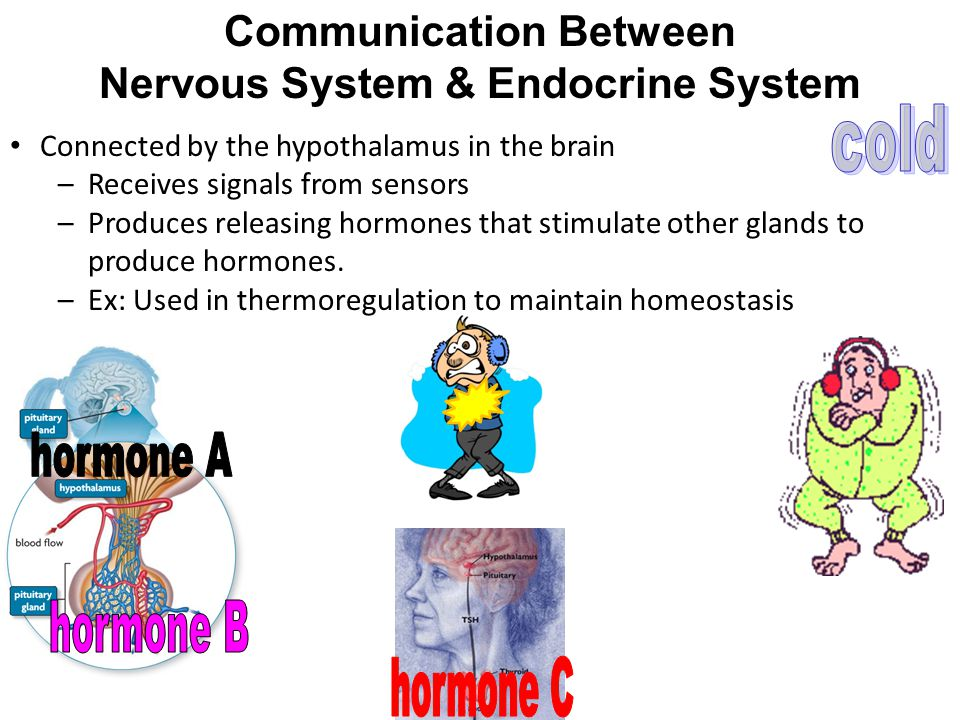 Communication Between Nervous System & Endocrine System