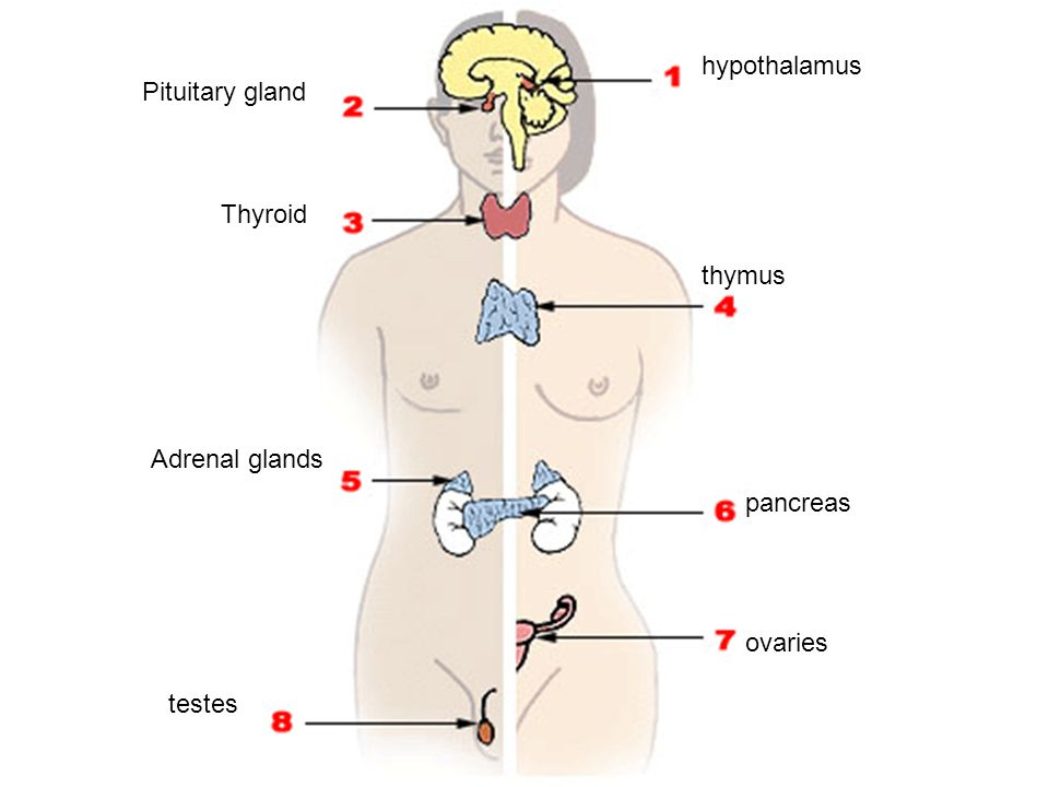 hypothalamus Pituitary gland Thyroid thymus Adrenal glands pancreas ovaries testes