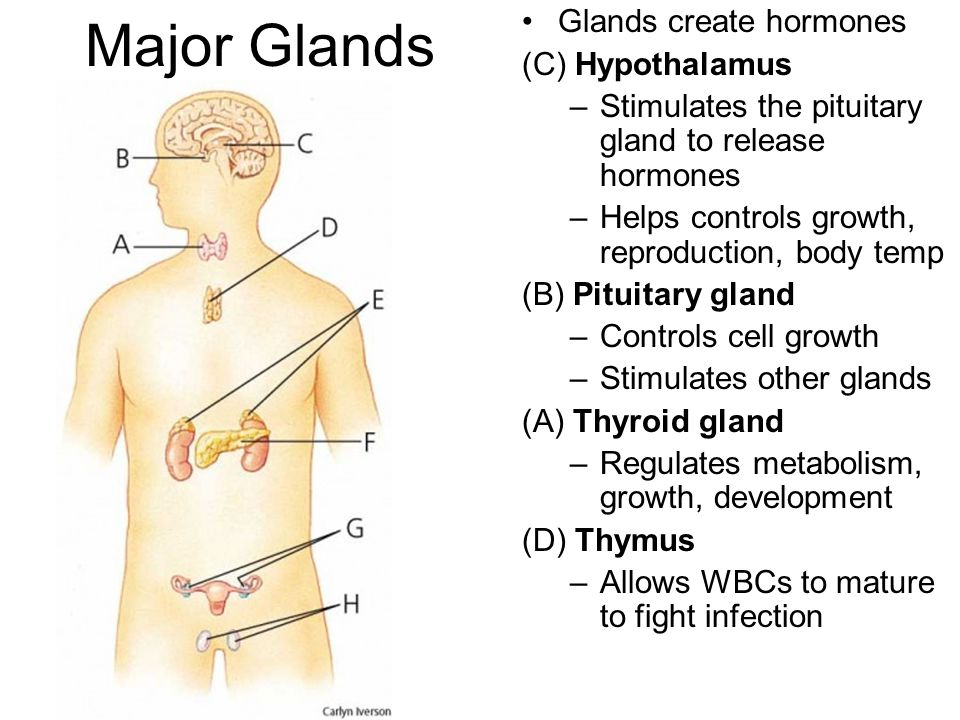 Major Glands Glands create hormones (C) Hypothalamus