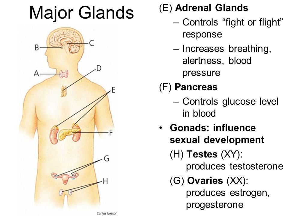 Major Glands (E) Adrenal Glands Controls fight or flight response