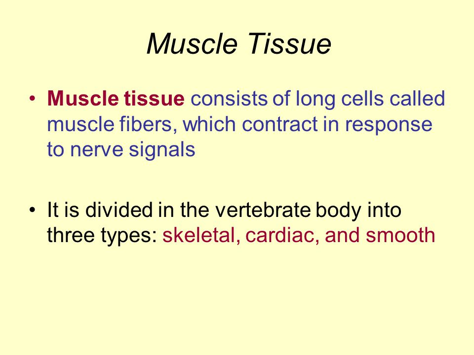 Muscle Tissue Muscle tissue consists of long cells called muscle fibers, which contract in response to nerve signals.