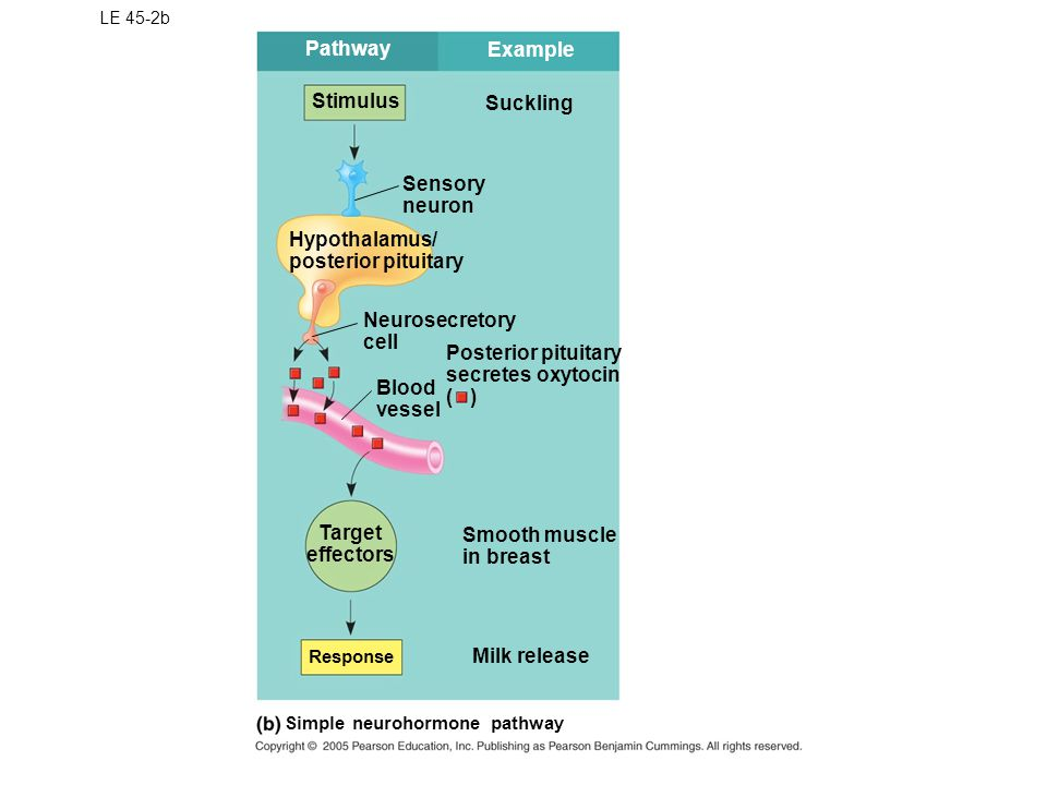 Pathway Example Stimulus Suckling Sensory neuron Hypothalamus/