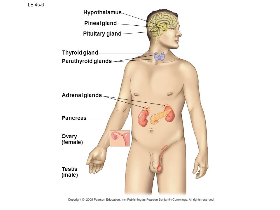Hypothalamus Pineal gland Pituitary gland Thyroid gland