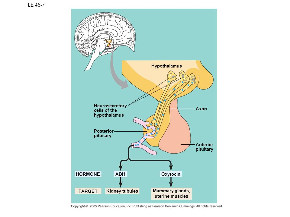 LE 45-7 Hypothalamus Neurosecretory cells of the hypothalamus Axon