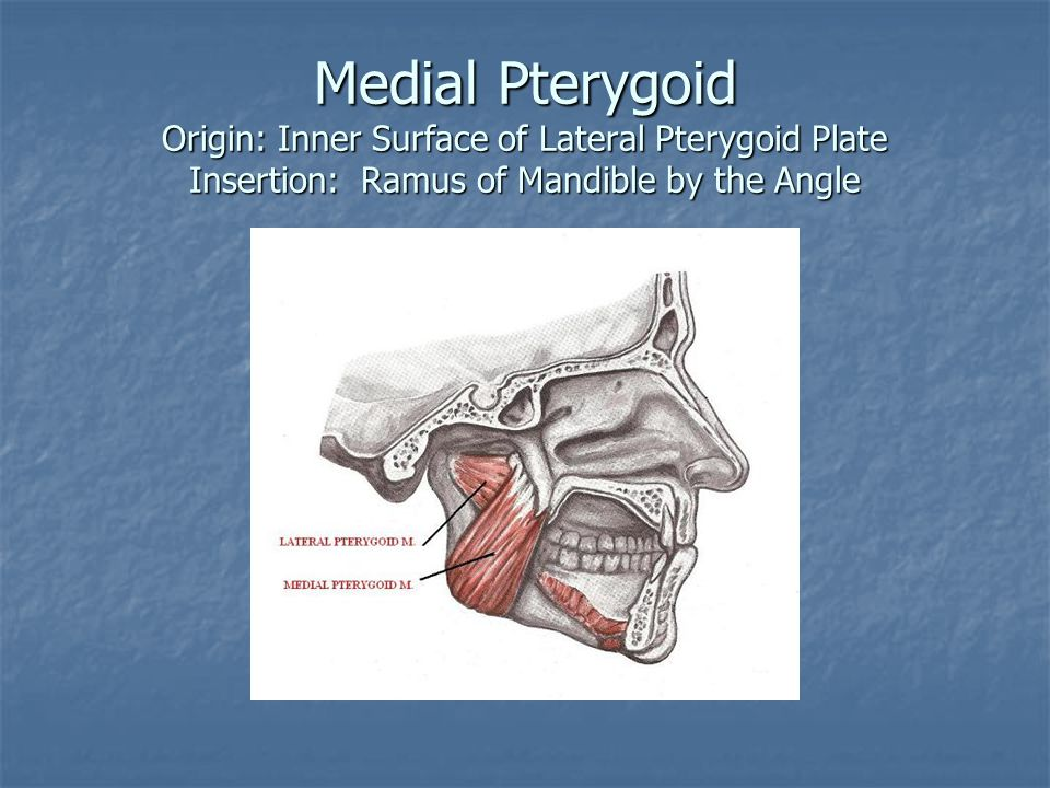 Medial Pterygoid Origin: Inner Surface of Lateral Pterygoid Plate Insertion: Ramus of Mandible by the Angle
