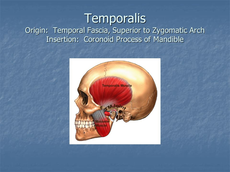 Temporalis Origin: Temporal Fascia, Superior to Zygomatic Arch Insertion: Coronoid Process of Mandible