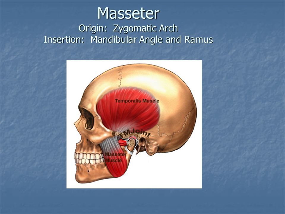 Masseter Origin: Zygomatic Arch Insertion: Mandibular Angle and Ramus