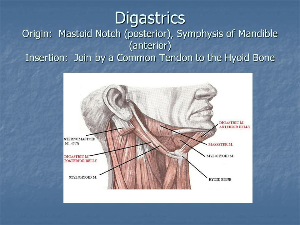 Digastrics Origin: Mastoid Notch (posterior), Symphysis of Mandible (anterior) Insertion: Join by a Common Tendon to the Hyoid Bone