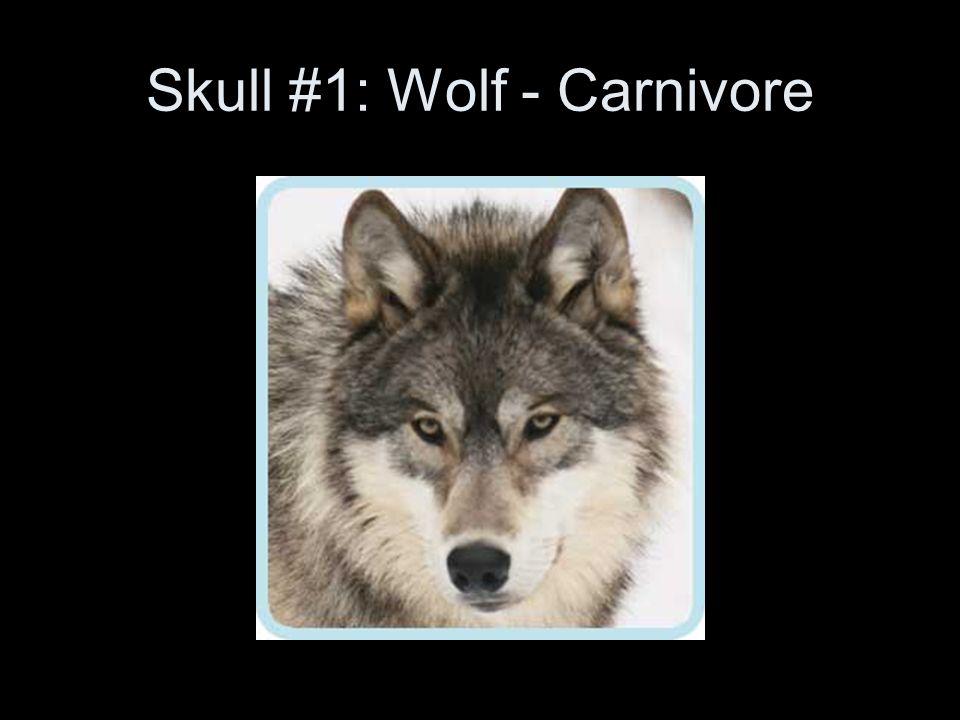 Skull #1: Wolf - Carnivore