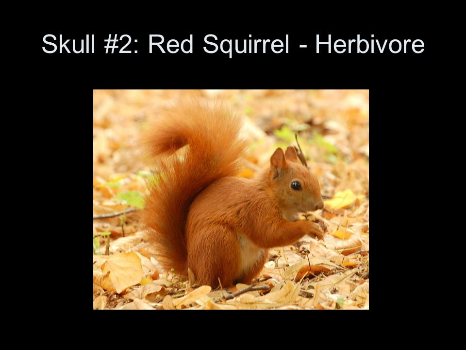 Skull #2: Red Squirrel - Herbivore