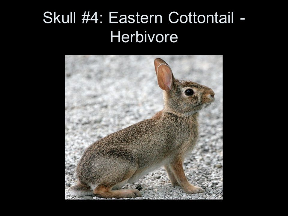 Skull #4: Eastern Cottontail - Herbivore