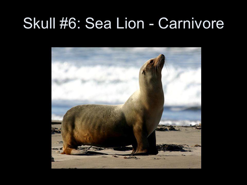 Skull #6: Sea Lion - Carnivore