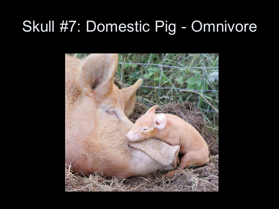 Skull #7: Domestic Pig - Omnivore