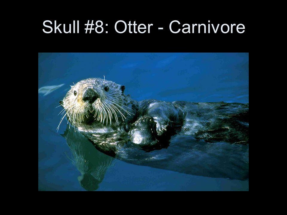 Skull #8: Otter - Carnivore