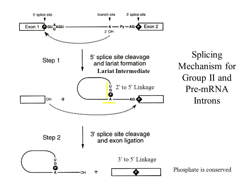 Splicing Mechanism for Group II and Pre-mRNA Introns
