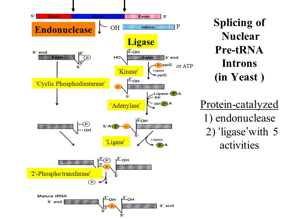 Splicing of Nuclear Pre-tRNA Introns (in Yeast ) Protein-catalyzed 1) endonuclease 2) 'ligase'with 5 activities