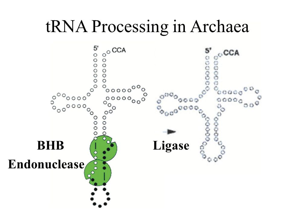 tRNA Processing in Archaea