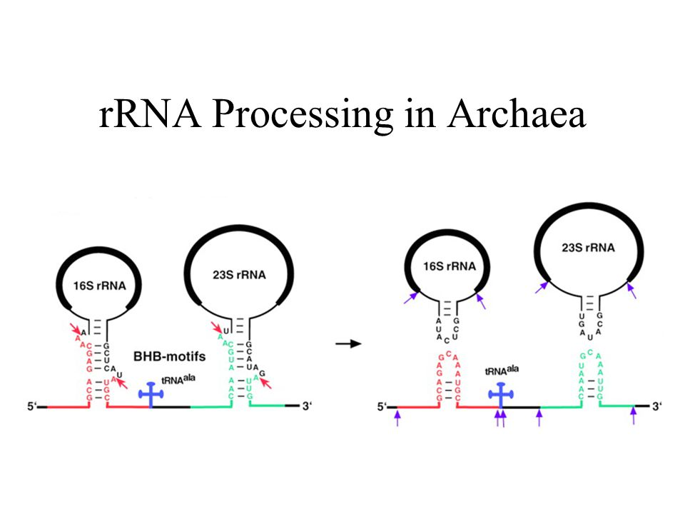 rRNA Processing in Archaea