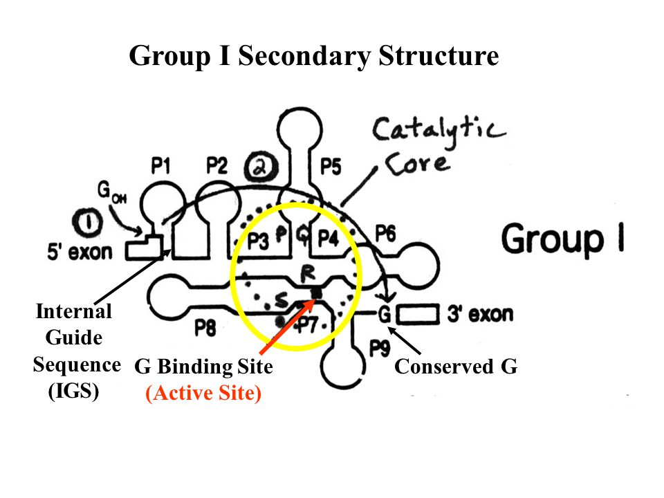 Group I Secondary Structure