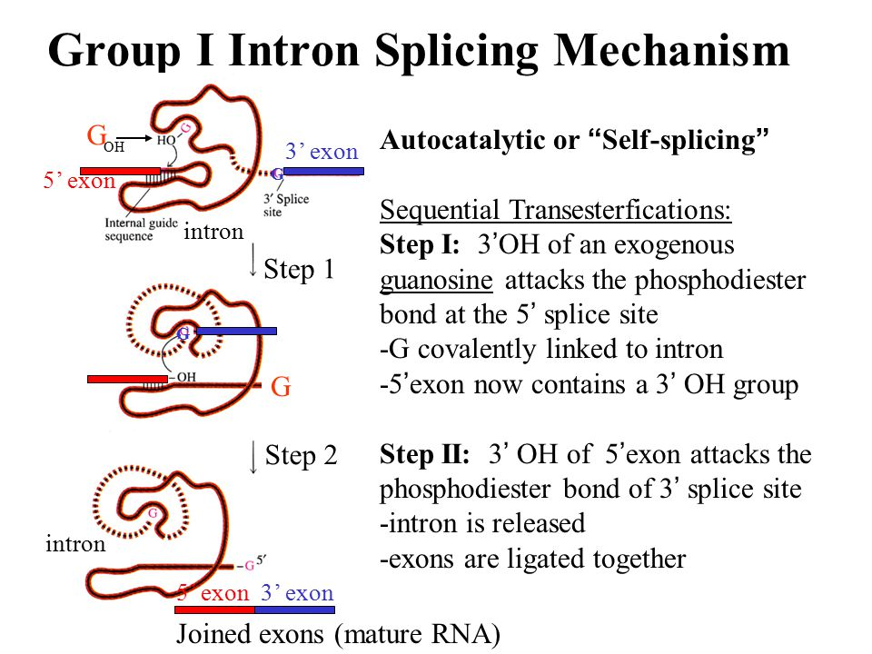 Group I Intron Splicing Mechanism