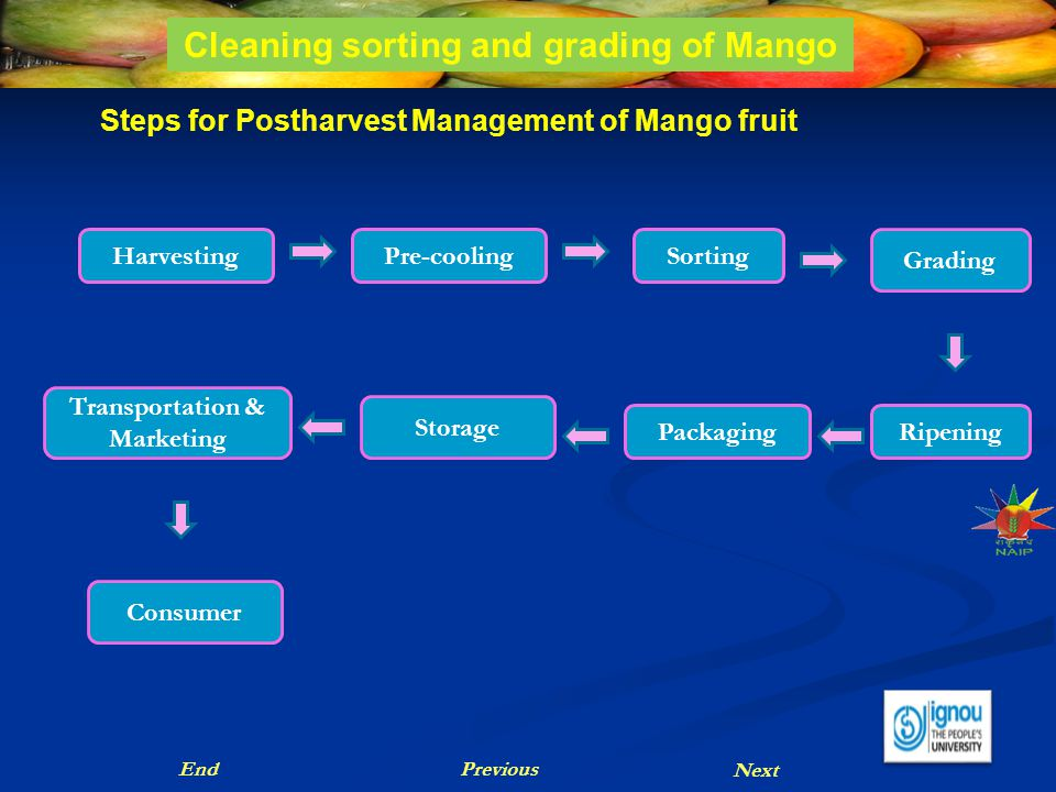 Cleaning sorting and grading of Mango