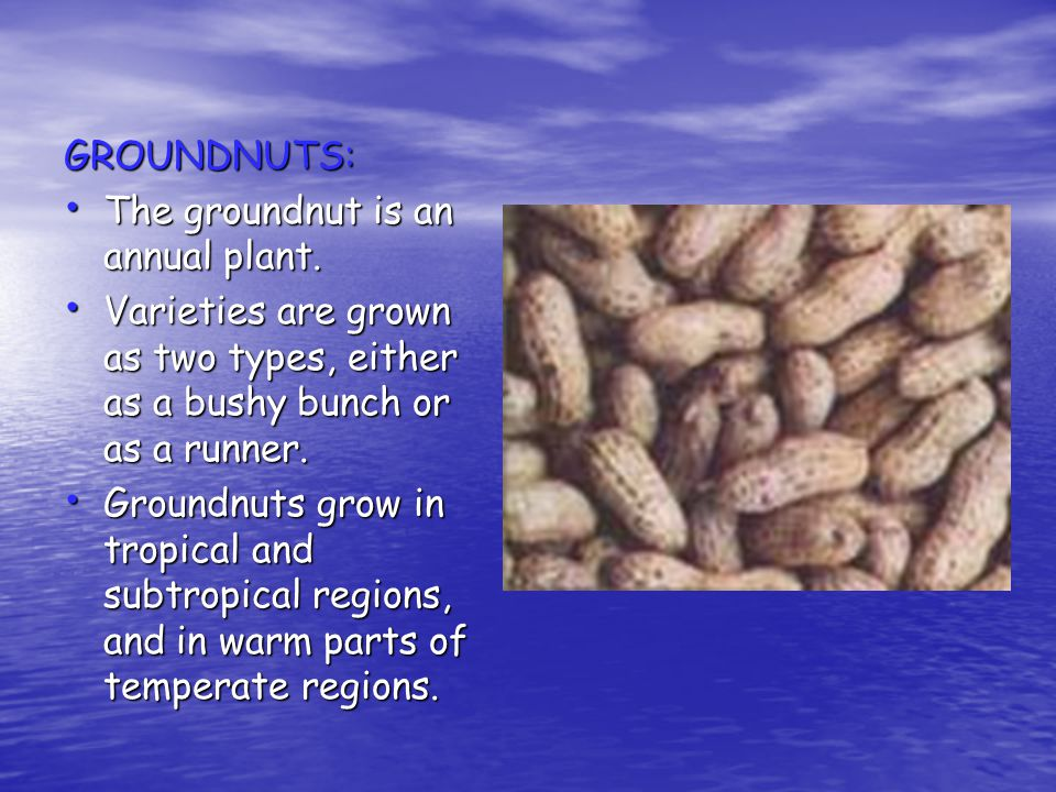 GROUNDNUTS: The groundnut is an annual plant. Varieties are grown as two types, either as a bushy bunch or as a runner.