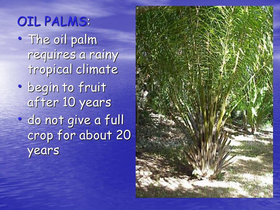 OIL PALMS: The oil palm requires a rainy tropical climate.