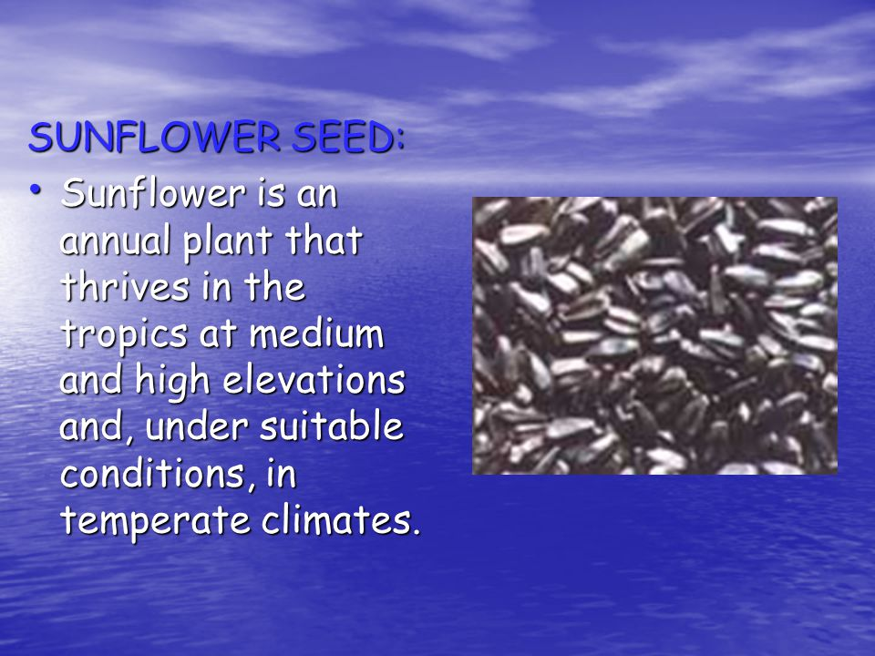 SUNFLOWER SEED: