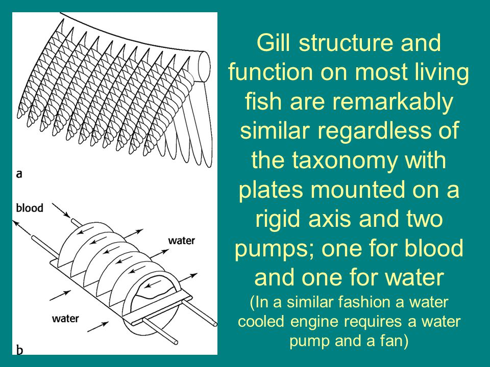 Gill structure and function on most living fish are remarkably similar regardless of the taxonomy with plates mounted on a rigid axis and two pumps; one for blood and one for water (In a similar fashion a water cooled engine requires a water pump and a fan)